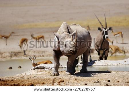 Black rhino, oryx and springboks at Nebrownii waterhole in Etosha national park, Namibia - stock photo