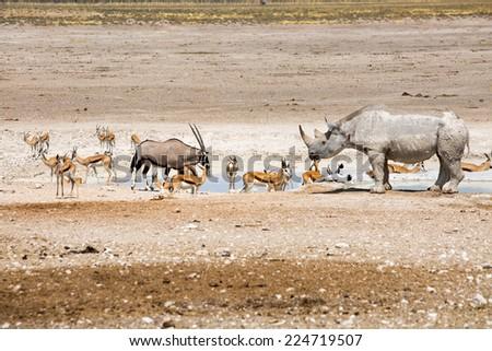 Black Rhino, Springbok & Gemsbok Oryx at a waterhole in Etosha National Park - stock photo
