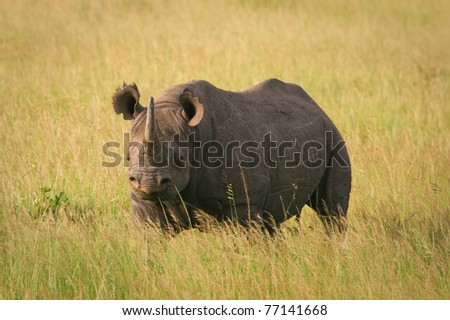Black Rhino standing in the grass, Masai Mara, Kenya - stock photo