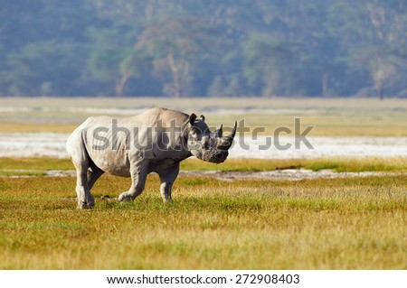 Black rhino walks alone in the bush - stock photo