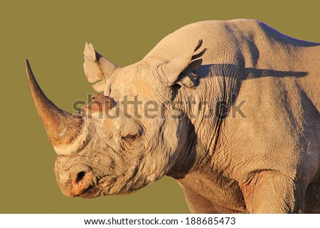 Black Rhino - Wildlife Background from Africa - Rare and Endangered Species from around the World.  - stock photo