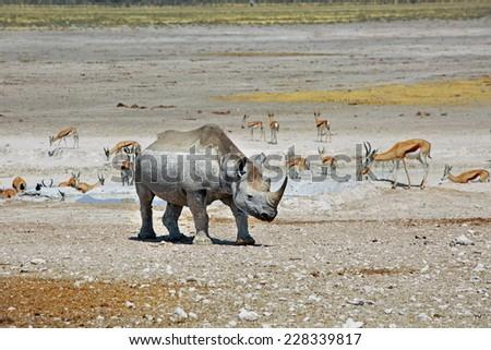Black Rhino with varied game in Etosha national park - stock photo