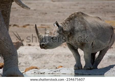 Black Rhinoceros and African Elephant at Waterhole, Etosha National Park, Namibia - stock photo