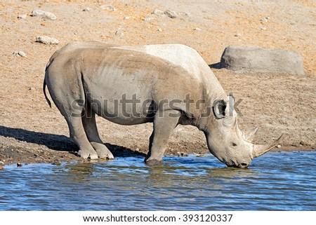 Black rhinoceros (Diceros bicornis) drinking at a waterhole in Etosha National Park, Namibia - stock photo