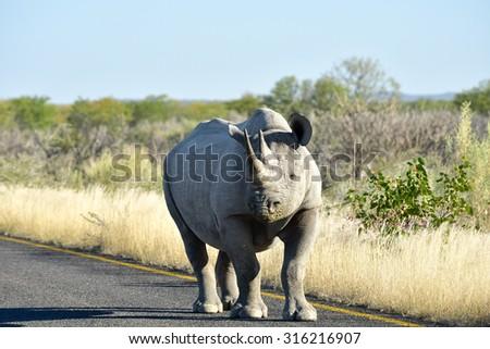 Black Rhinoceros, Diceros bicornis, or hook-lipped rhinoceros. Walking along the road in the Etosha National Park, Namibia. - stock photo