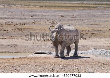 Black rhinoceros from Etosha National Park, Namibia - stock photo