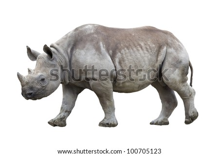 Black rhinoceros isolated on white - stock photo
