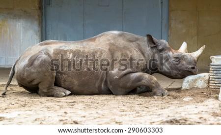 Black rhinoceros sleeping on a rock - stock photo
