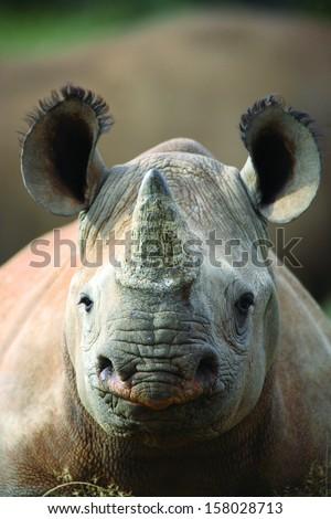 Black rhinoceros young calf - stock photo