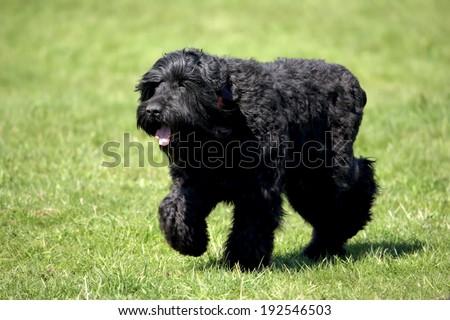 Black Russian Terrier (BRT or Stalin's dog) - stock photo