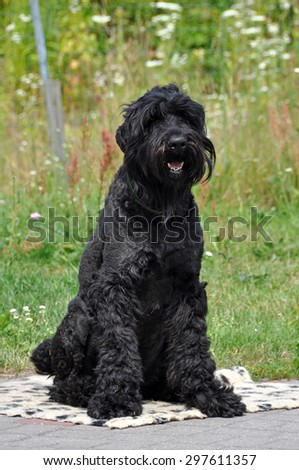 Black Russian Terrier dog in the garden - stock photo