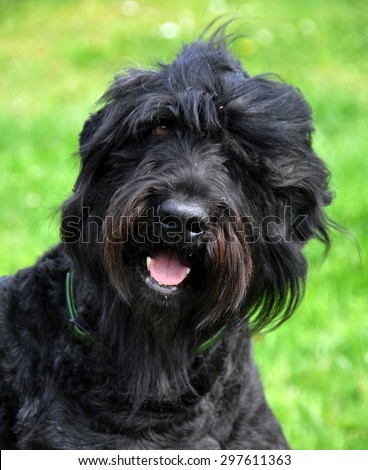 Black Russian Terrier dog in the garden - stock photo