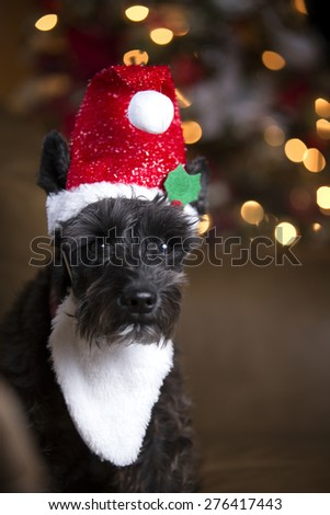 Black schnauzer dog with Santa Elf hat and Christmas lights