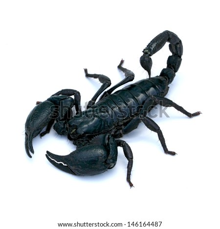 black scorpion on white background - stock photo