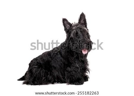 Black scottish terrier on white background - stock photo