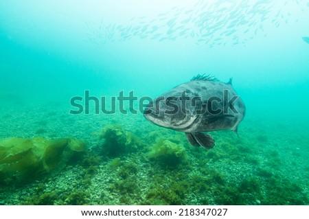 black sea bass (Centropristis striata) in Channel Islands, Ca - stock photo