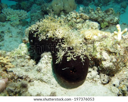 Black sea cucumber (Holothurian, echinoderm) - stock photo