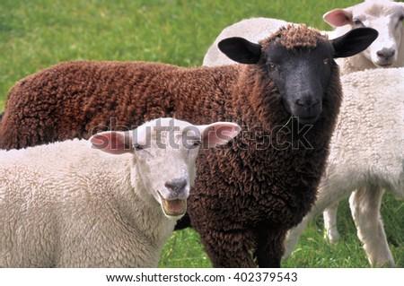 black sheep eating gras and white sheep blating - stock photo