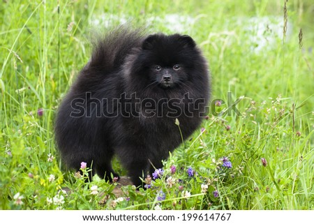 Black shpitz  - stock photo