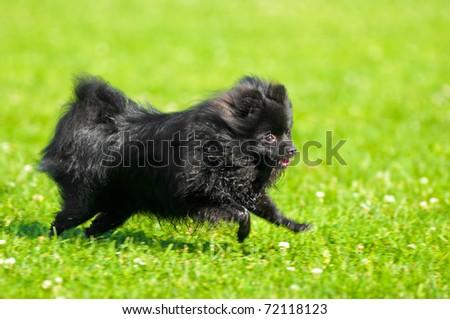 Black shpitz on green grass in summer park - stock photo