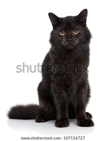 Black Siberian cat on a white background. Studio shoot - stock photo