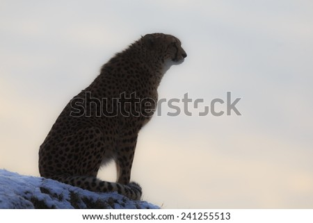 black silhouette of cheetah gainst the setting sun - stock photo