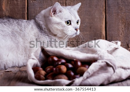 black silver shaded British shorthair cat lying behind a sack of chestnuts. Wooden background.  - stock photo