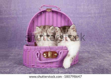 Black silver tabby Exotic and Persian kittens sitting in purple pink basket on lilac background - stock photo