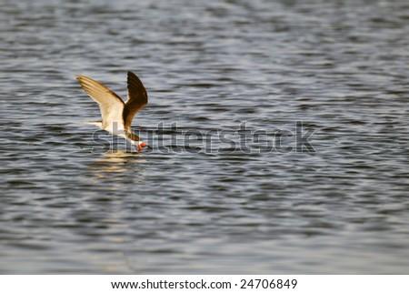 Black Skimmer Skimming for Food - stock photo