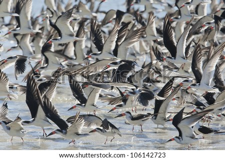 Black Skimmers flock landing. Latin name - Rynchops niger. - stock photo
