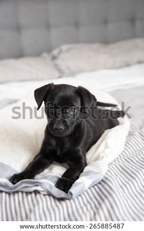 Black Small Puppy Relaxing on Human Bed - stock photo