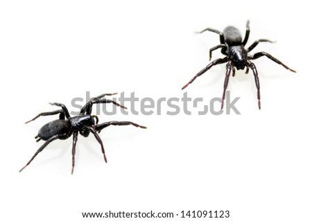 Black spider isolated on white background - stock photo