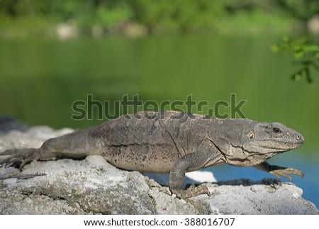 Black Spiny-tailed Iguana (Ctenosaura similis), on the move in the Mayan Riviera, Mexico - stock photo
