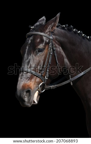 Black sport horse portrait isolated on black background - stock photo