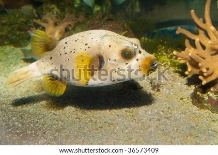 Black Spotted or Dog Faced Puffer fish (Arothron nigropunctatus) in Aquarium - stock photo