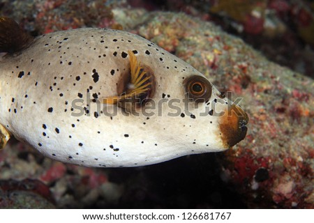 Black Spotted Puffer (Arothron nigropunctatus) in the coral reef - stock photo