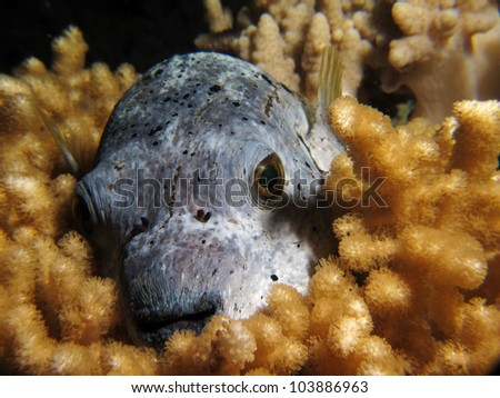 Black spotted puffer fish by night on the fesdu house reef at W retreat and spa, maldives - stock photo