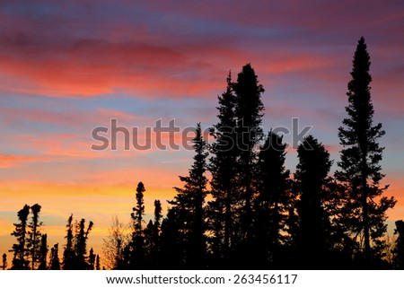 Black spruce trees sihoutted against a brilliantly colorful sunset - stock photo