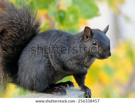 Black Squirrel resting on wooden post - Autumn leaves in background - stock photo