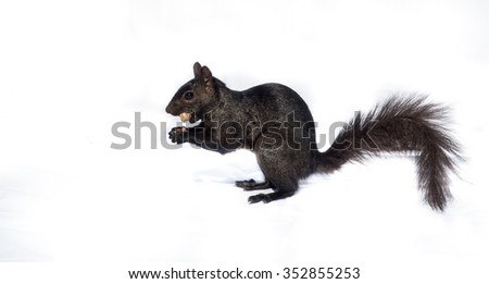 Black squirrel with a peanut isolated on white.  A common North American Grey squirrel (black) with a peanut in its mouth, isolated on white backdrop. - stock photo