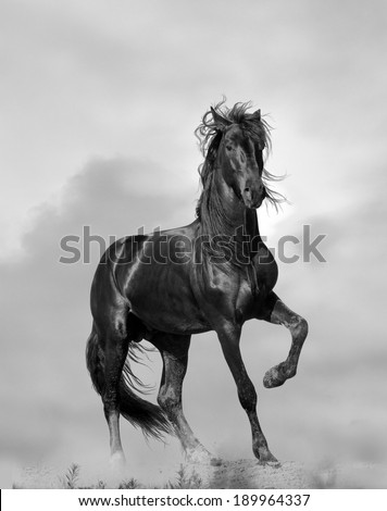 black stallion - stock photo