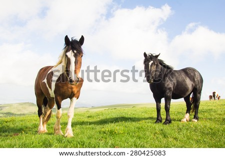 Black stallion and young paint horse on the mountain pasture - stock photo