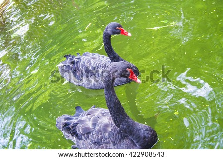 Black Swan looks similar to other features, but the male has a black coat over a dark gray. Except feathers for fly line is the only body with white trim pronounced eye-catching. Crimson Eyes Beak. - stock photo