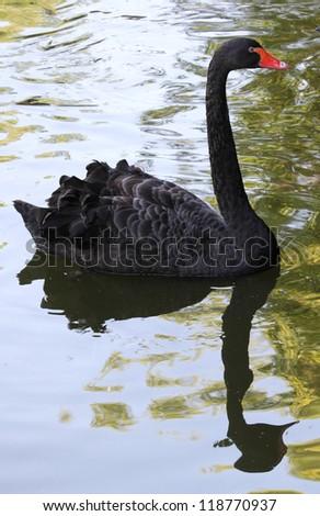 Black swan on the lake - stock photo