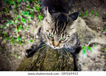 Black tabby maine coon playful cat sharpening its claws on a tree - stock photo