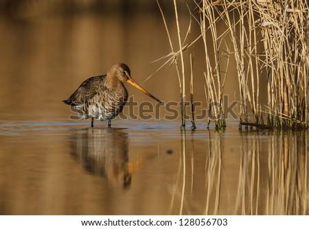 Black-tailed Godwit, Limosa limosa - stock photo