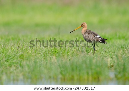 Black-tailed godwit (Limosa limosa) aware - stock photo