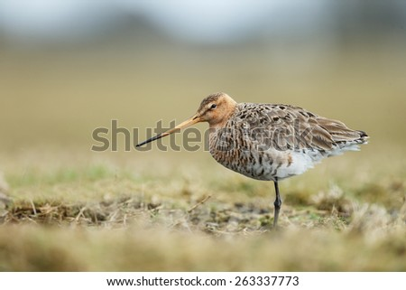 Black tailed godwit standing in the meadow. - stock photo