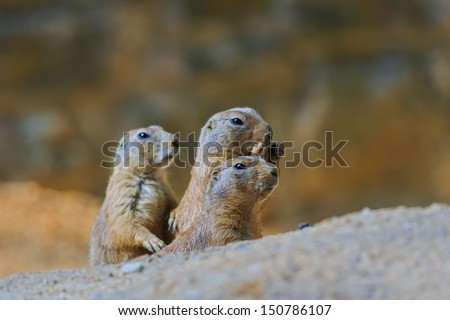 black-tailed prairie - stock photo