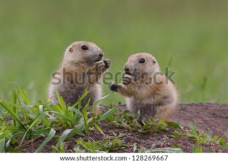 Black Tailed Prairie Dog babies playing eating and interacting at their hole in Custer State Park, South Dakota Cynomys ludovicianus grassland habitat environment wildlife and nature photography - stock photo